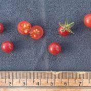 pimp-tomato-1-resize-crop